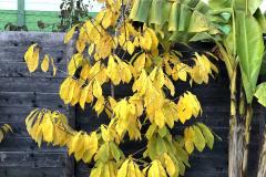 Asimina triloba 'Sunflower'