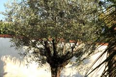 Olea europaea 'arbequina'