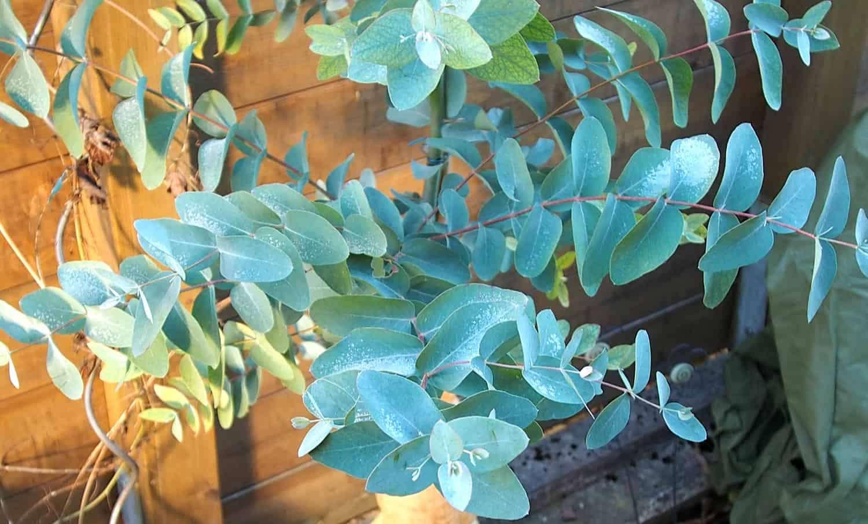 Mostgummi-Eukalyptus