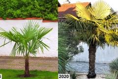 Trachycarpus Fortunei 1