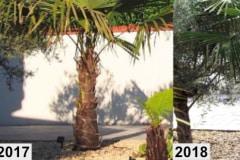 Trachycarpus Fortunei 1 mehrjährig