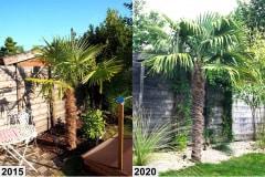 Trachycarpus Fortunei 3