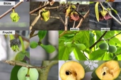 Asimina triloba 'Sunflower' 01