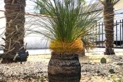 australischer Grasbaum