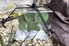 Überdachung: Opuntia macrohitza 'Apricot'