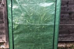 Winterschutzzelt: Nerium oleander 'Italia'