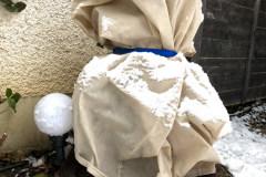 Verpackung: Dasylirion wheeleri