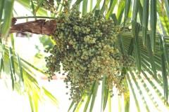 Trachycarpus Fortunei 03