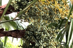 Trachycarpus Fortunei 02