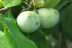 Früchte 2021 14