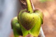 Blütenknospe 2016 08