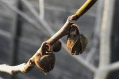 erfrorene Blüten (Frostschaden)