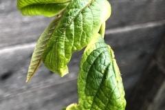 kräuselnde Blätter