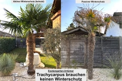 Trachycarpus fortunei: Winterschutz