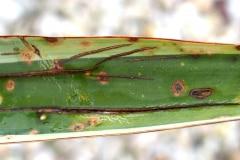 [03/17] Yucca gloriosa