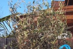 [02/17] Olivenbaum