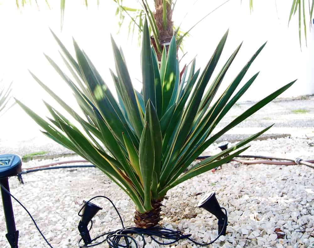 Yucca: Bewurzelung 5