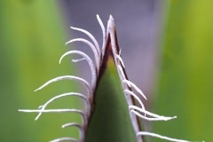 Faxon Palmlilie