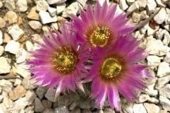 Igelkaktus Echinocereus baileyi v. albispinus