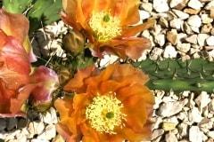 Feigenkaktus Opuntia phaeacantha
