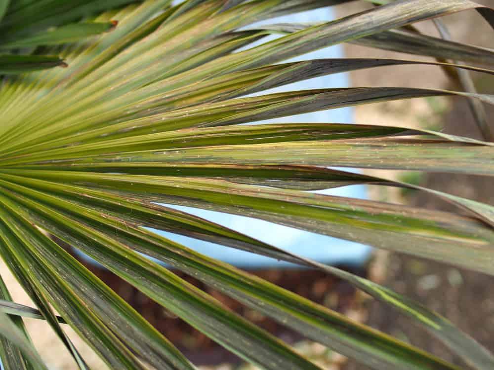 vertrocknete Blätter (starker Frostschaden)