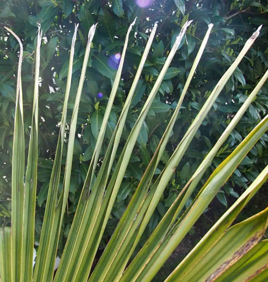 zusammengerollte Blätter (Frosttrocknis)