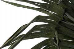 löchrige Wedel (leichter Frostschaden)