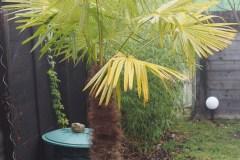 Chlorose der ges. Palme im Frühjahr