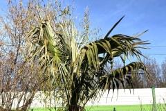 vertrocknete Blätter (mittlerer Frostschaden)