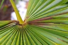 braune / schwarze Blätter (Frostschaden)