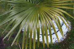 Chlorose an älteren Blättern im Frühjahr
