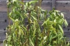 vertrocknete Blätter (Frostschaden)