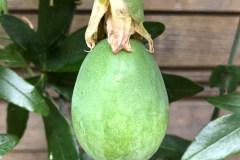 Frucht 2020 06