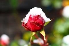 Rose 2015