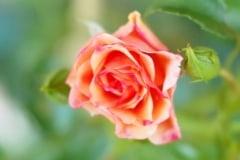 Rose 2012