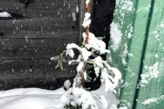 2018/19 Schnee-Eukalyptus 02