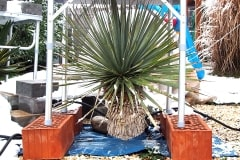 2017/18 Yucca rostrata 02