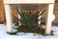 2016/17 Yucca gloriosa 03