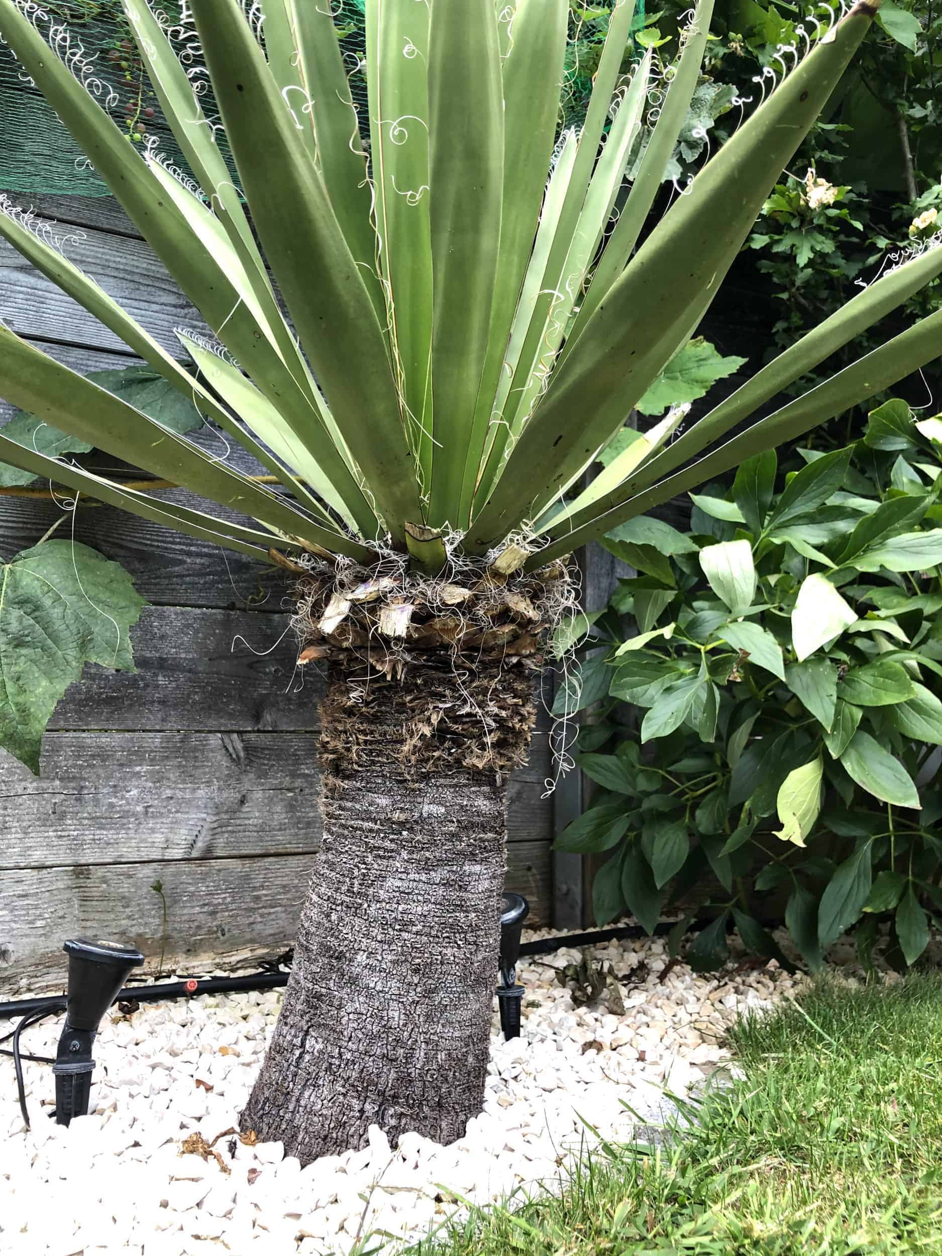 Yucca: Bewurzelung 17