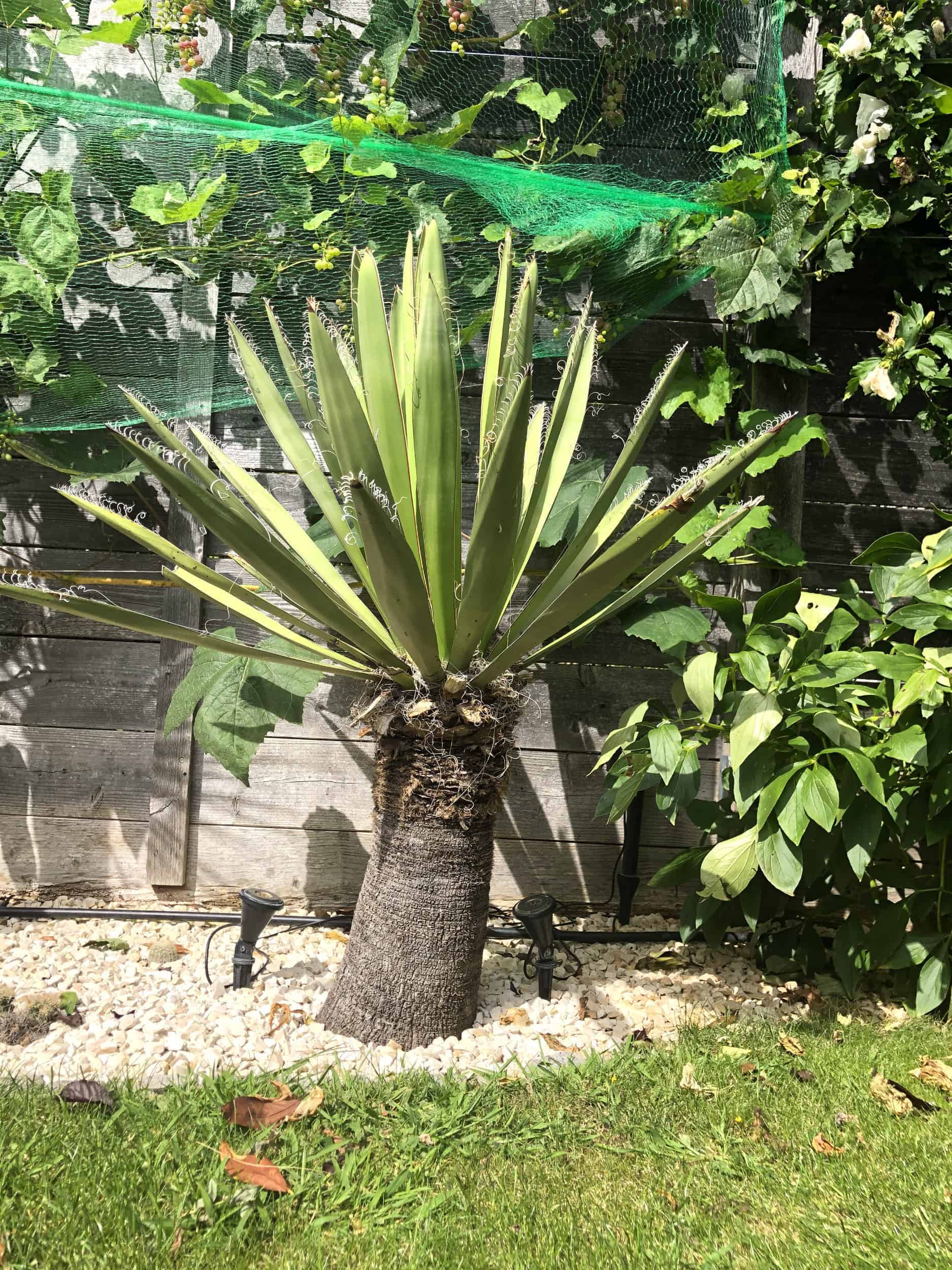 Yucca: Bewurzelung 20