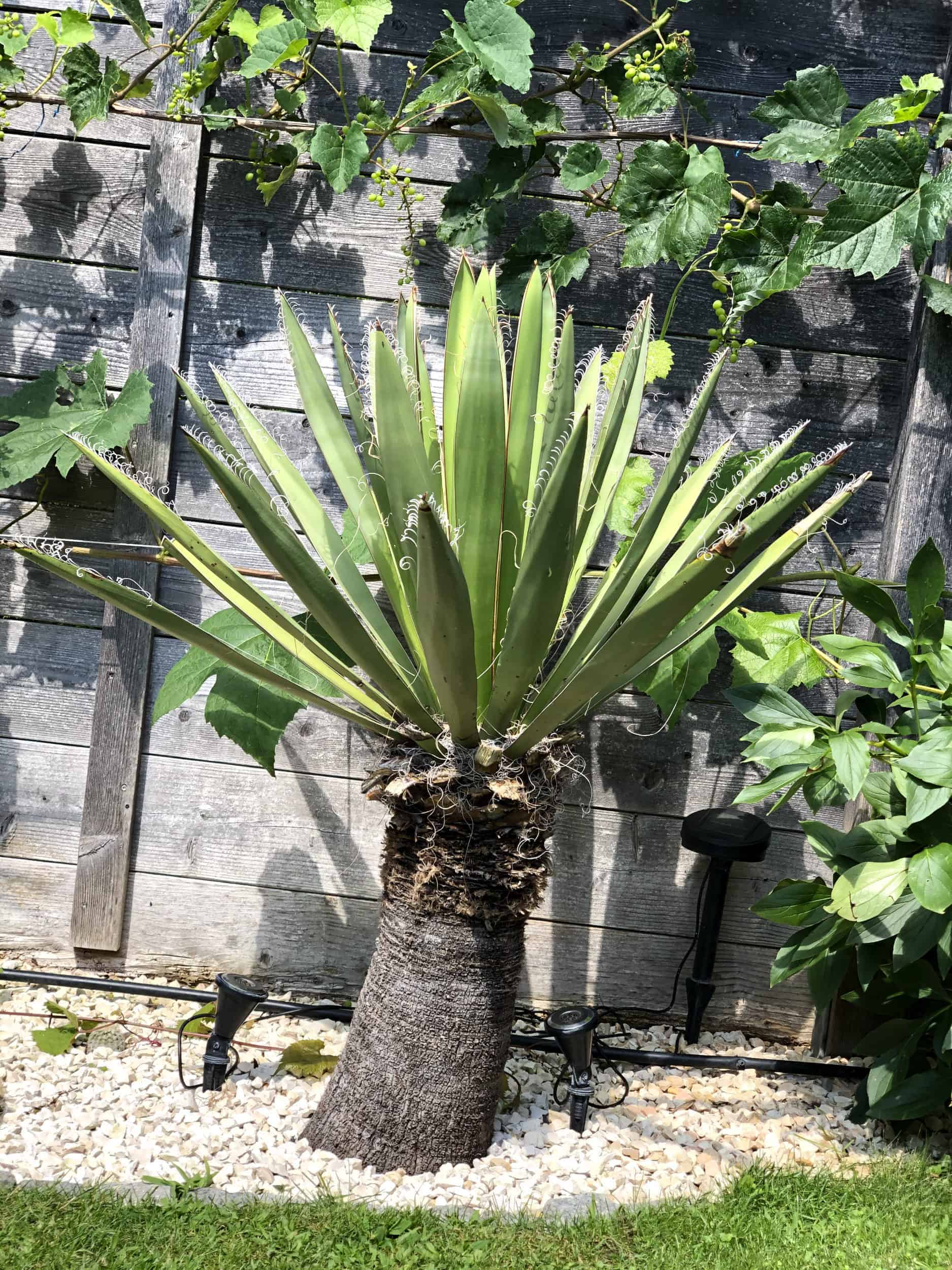 Yucca: Bewurzelung 19
