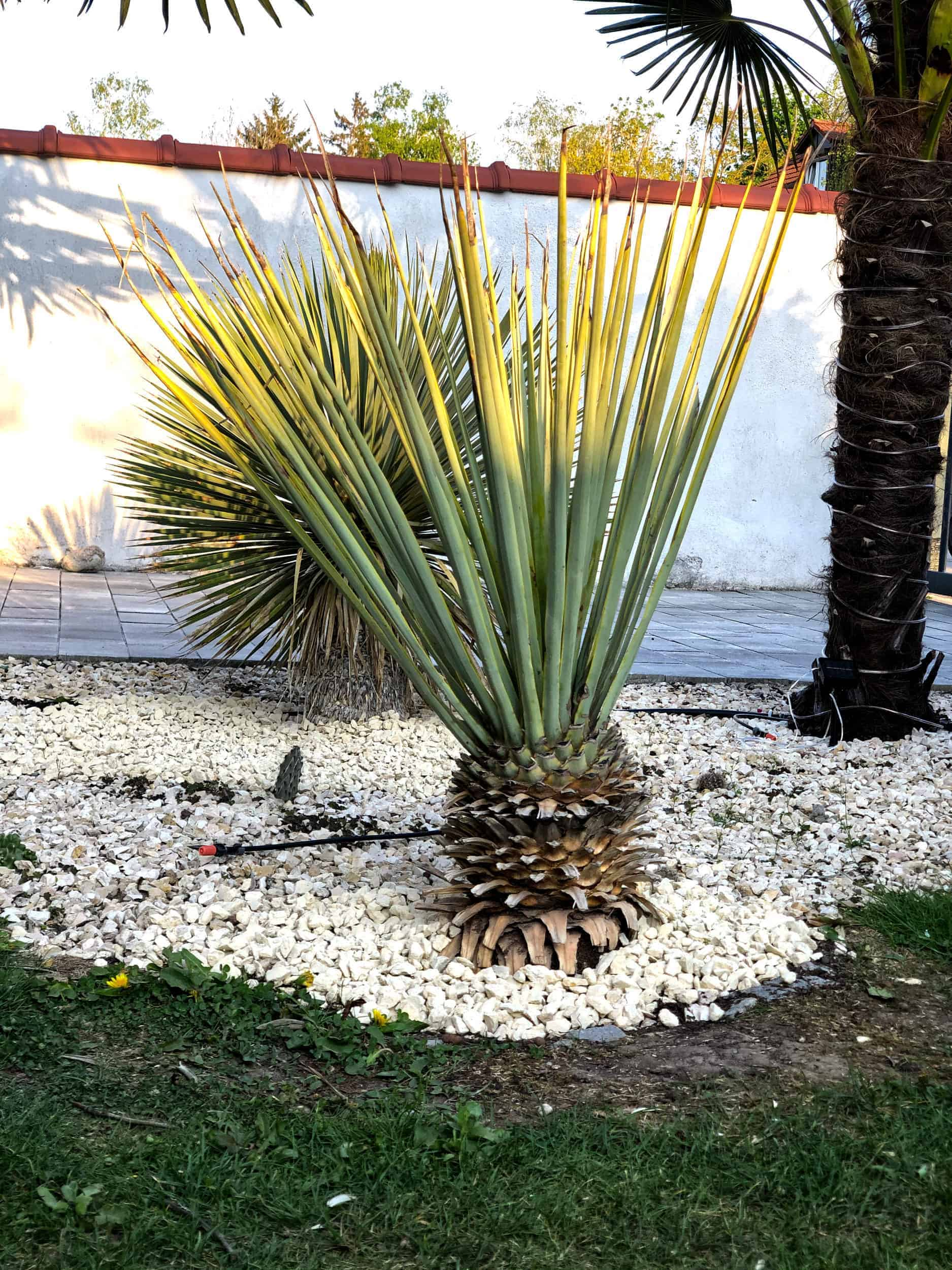 Yucca: Bewurzelung 21