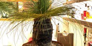 Australischer Grasbaum: Steckbrief