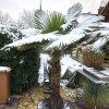 Trachycarpus Fortunei: Klima am Naturstandort 5