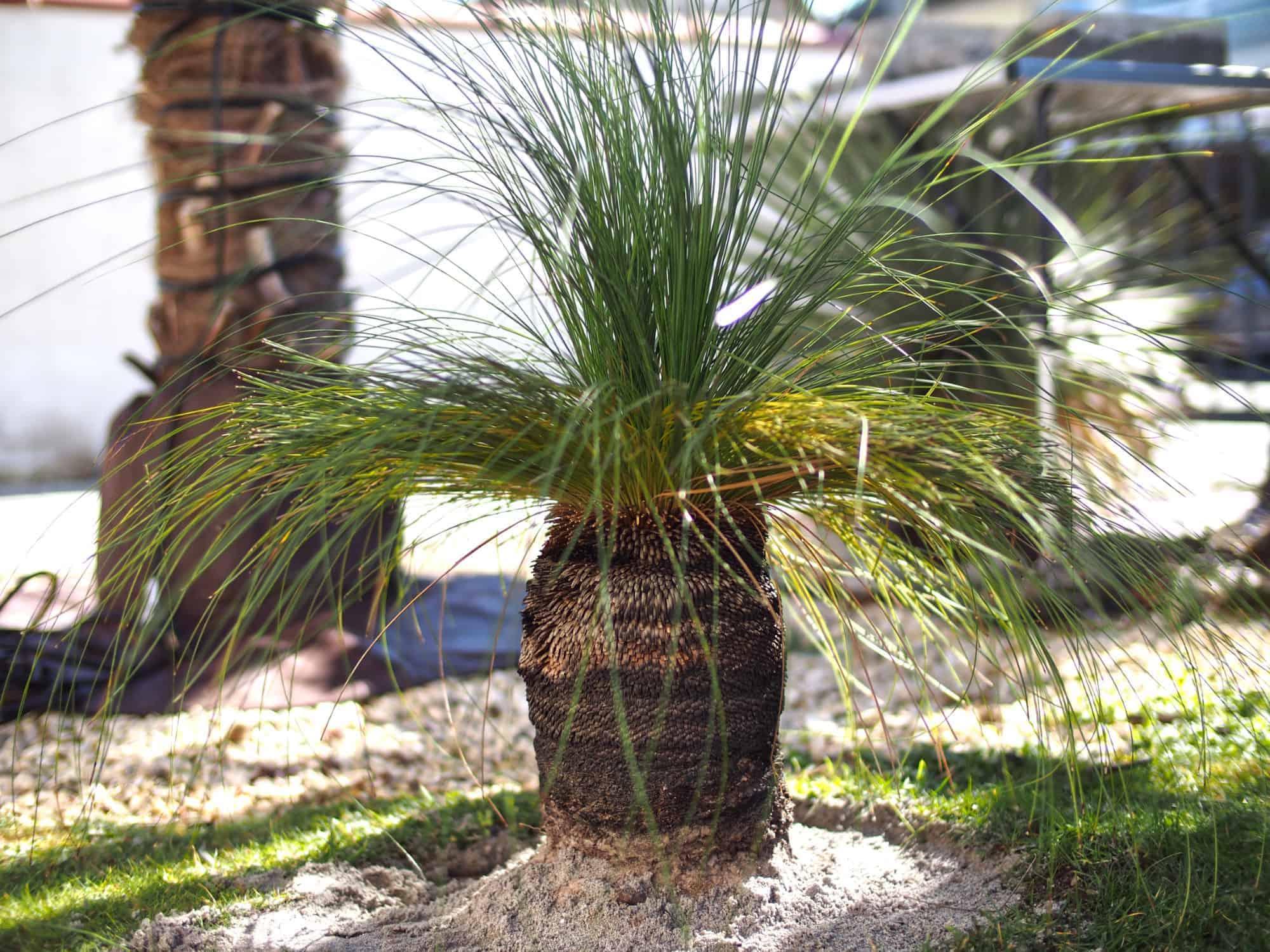 australischer Grasbaum 1