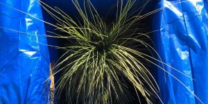 "Xanthorrhoea johnsonii: Winterschutz-Methode ""Styropor-Schutzbau"""