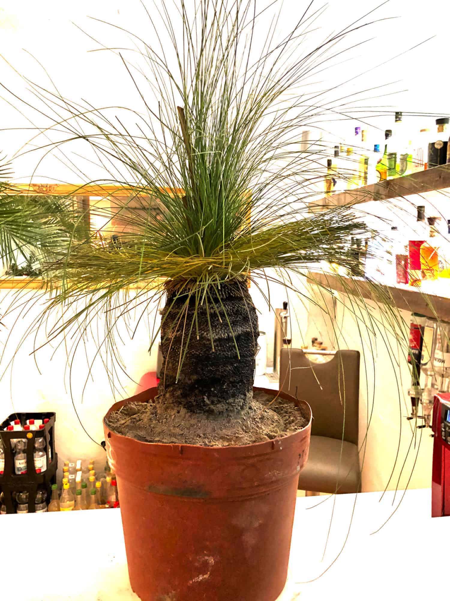 Grasbaum: Kauf + Auspflanzung 1