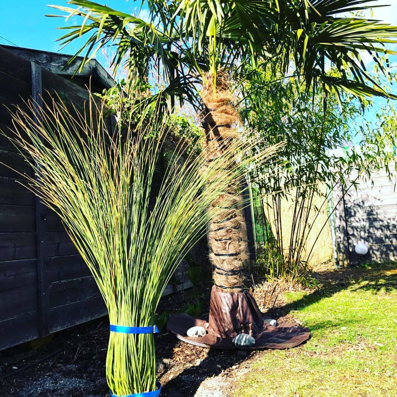 Mexikanischer Grasbaum: Steckbrief 1