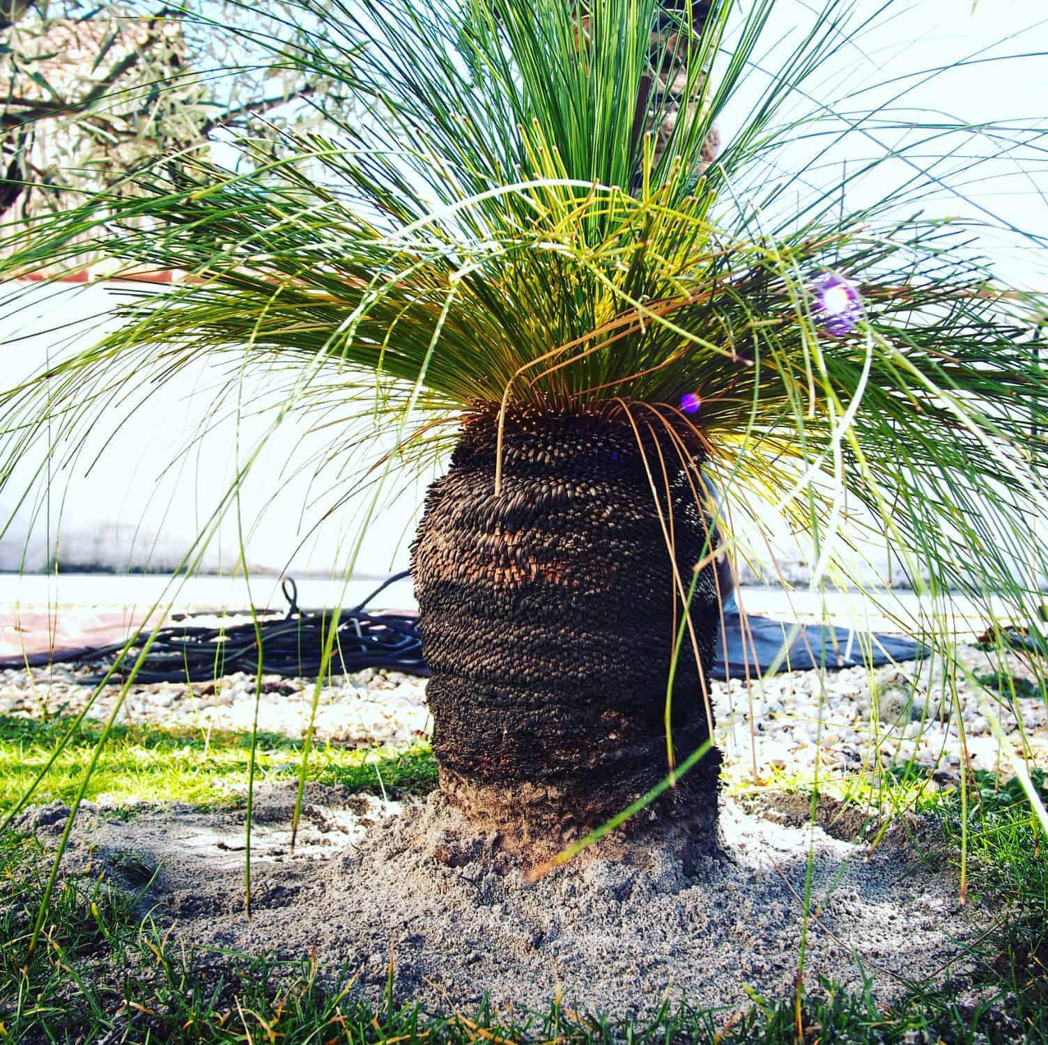 Australischer Grasbaum: Steckbrief 1