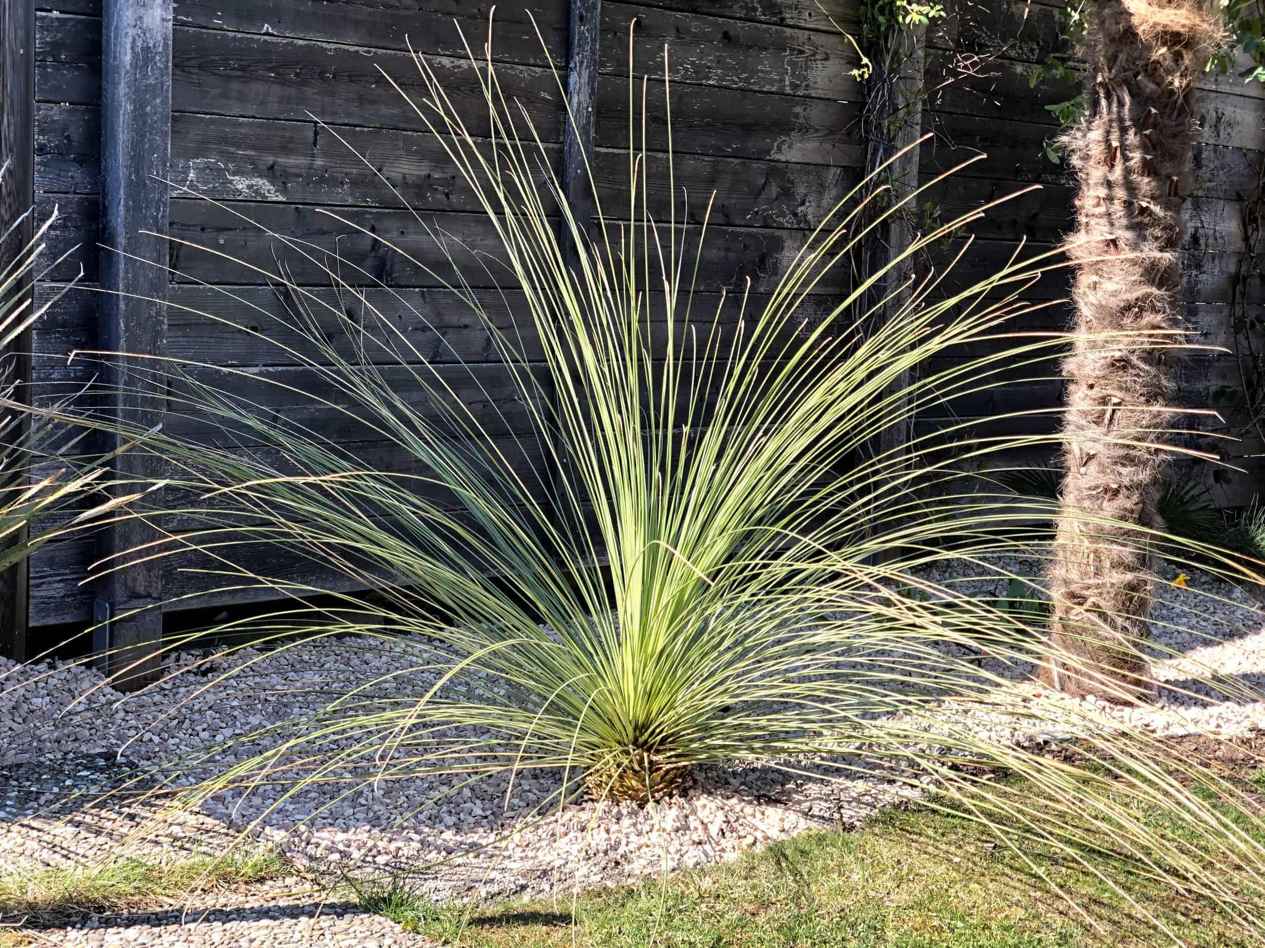 mexikanischer Grasbaum 1
